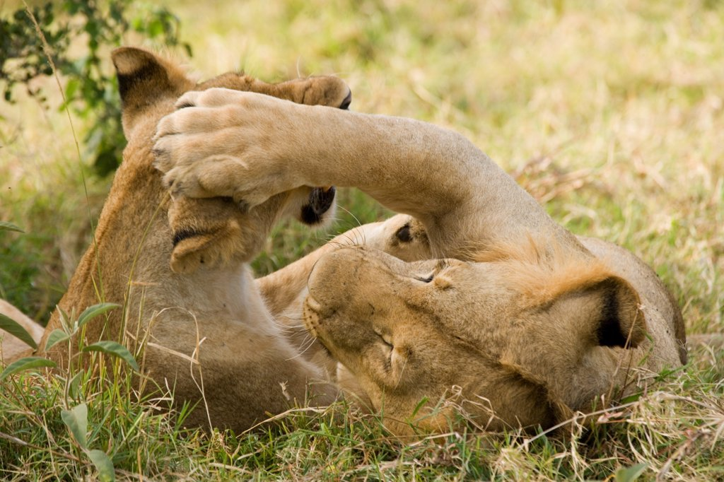 Stock Photo: 4421-19850 Lion (Panthera leo) two juveniles, playfighting, Masai Mara National Reserve, Kenya