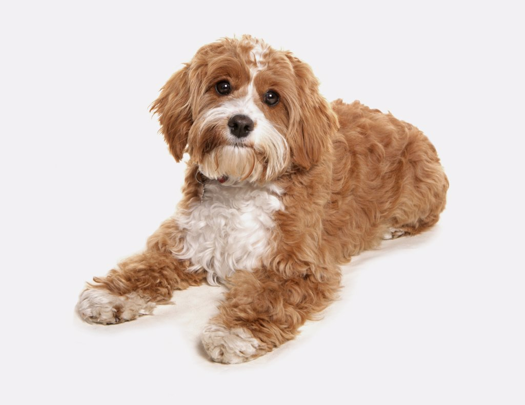 Domestic Dog Cavapoo Cavalier King Charles Spaniel X