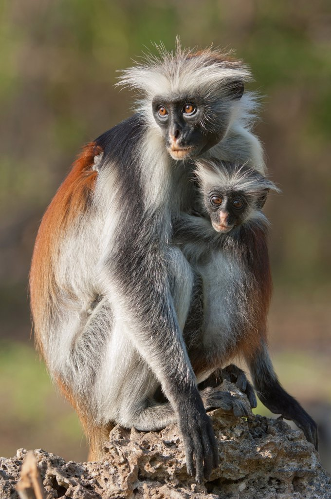 Stock Photo: 4421-20040 Zanzibar Red Colobus (Procolobus kirkii) adult female with young, Zanzibar, Tanzania
