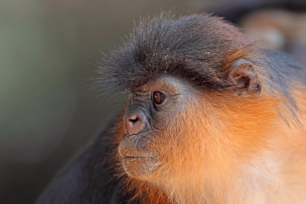 Stock Photo: 4421-20056 Western Red Colobus (Procolobus badius) adult, close-up of head, Gambia, january