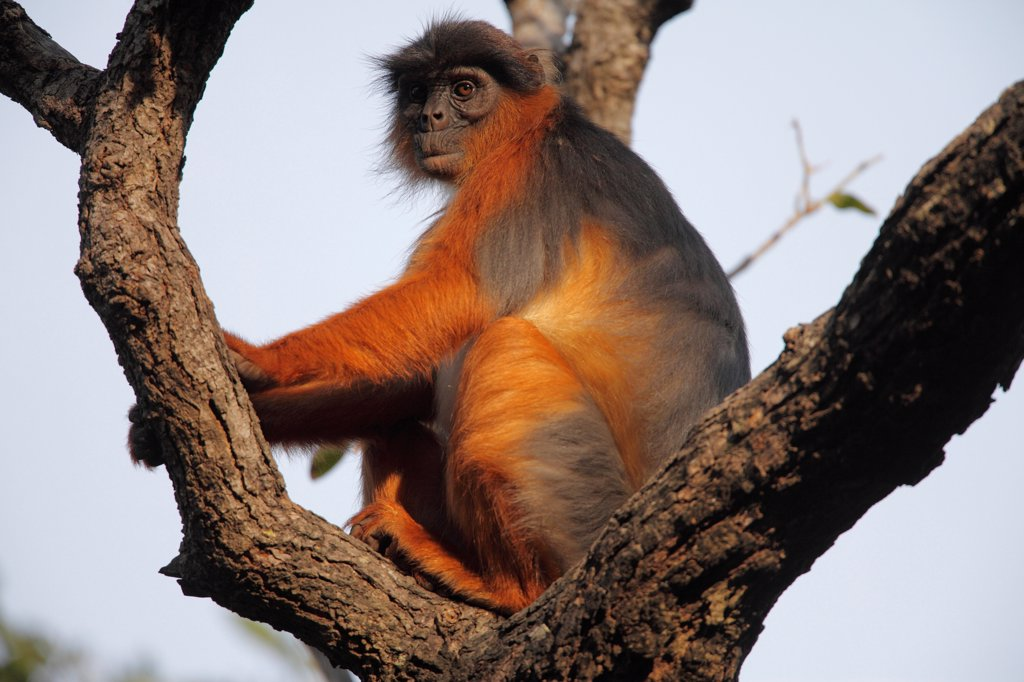 Western Red Colobus (Procolobus badius) adult, sitting on branches in tree, Gambia, january : Stock Photo