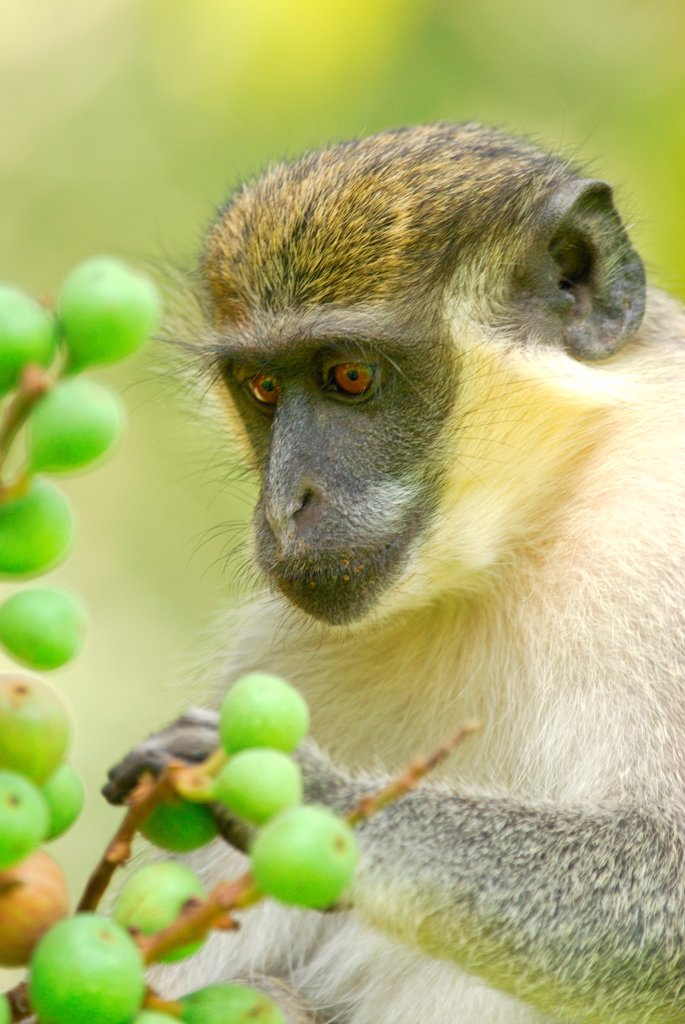 Stock Photo: 4421-20074 Callithrix Monkey (Cercopithecus sabaeus) adult, feeding on fruit, in resort grounds, Gambia, april