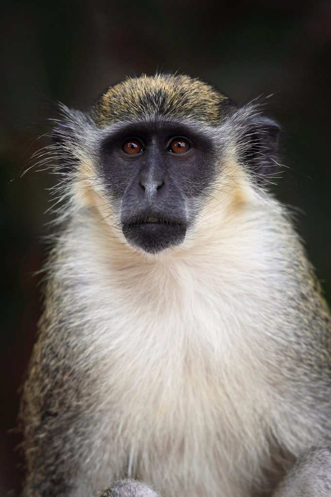 Stock Photo: 4421-20087 Callithrix Monkey (Cercopithecus sabaeus) adult, close-up of head, Gambia, january