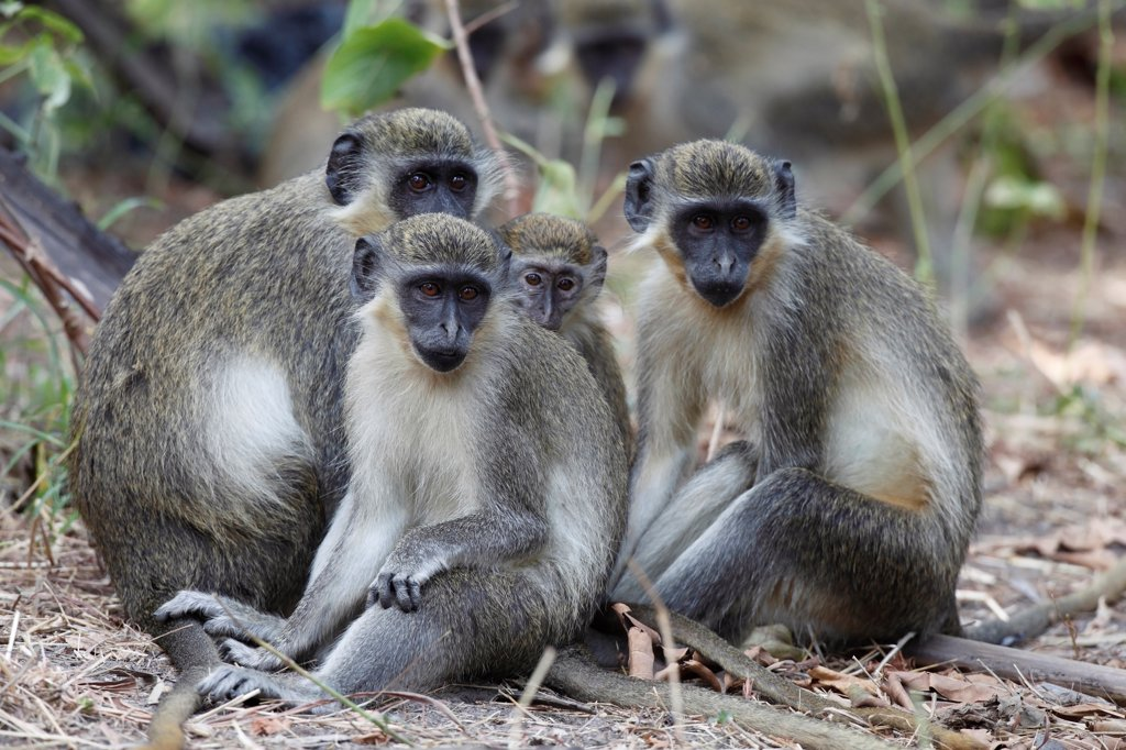 Stock Photo: 4421-20088 Callithrix Monkey (Cercopithecus sabaeus) adults and juveniles, sitting on ground, Gambia, january
