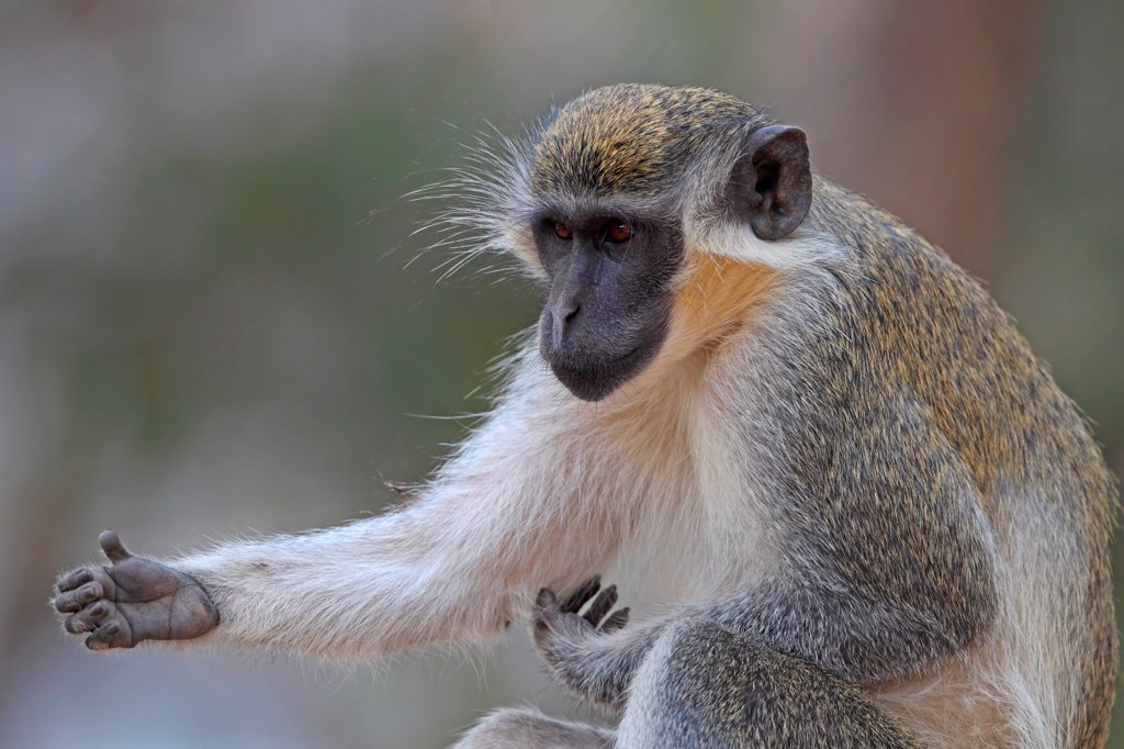 Callithrix Monkey (Cercopithecus sabaeus) adult, scratching arm, Western Division, Gambia, march : Stock Photo