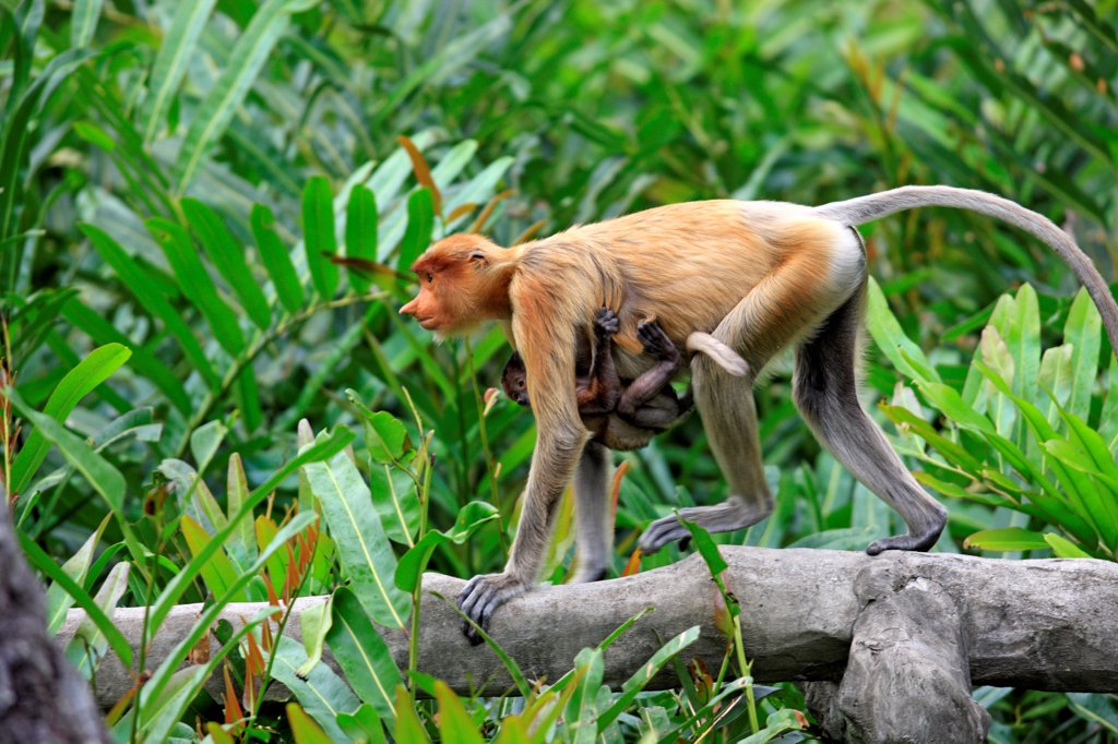 Stock Photo: 4421-20174 Proboscis Monkey (Nasalis larvatus) adult female with young clinging to chest, walking along branch, Labuk Bay, Sabah, Borneo, Malaysia
