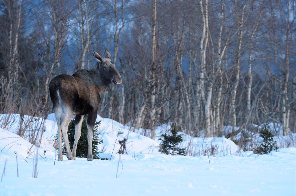 European Moose (Alces alces alces) adult, standing on snow at edge of birch forest habitat, Norway, february : Stock Photo