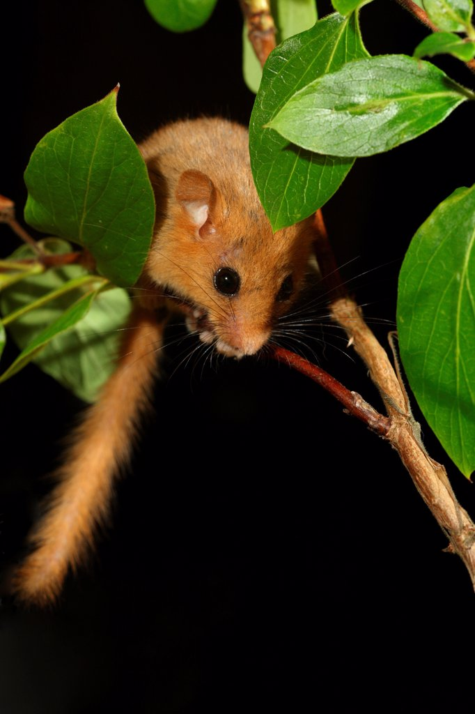 Stock Photo: 4421-20218 Hazel Dormouse (Muscardinus avellanarius) adult, climbing in honeysuckle, Gloucestershire, England, summer