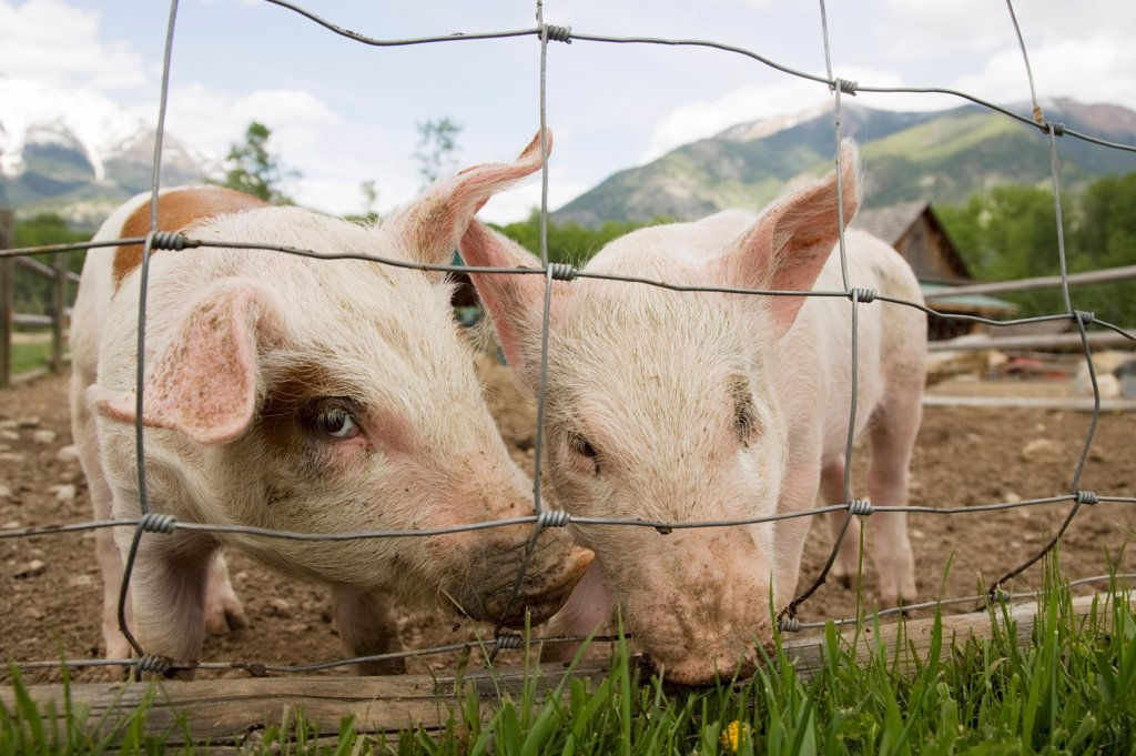 Domestic Pig, two piglets, standing beside wire fence in paddock, British Columbia, Canada, may : Stock Photo