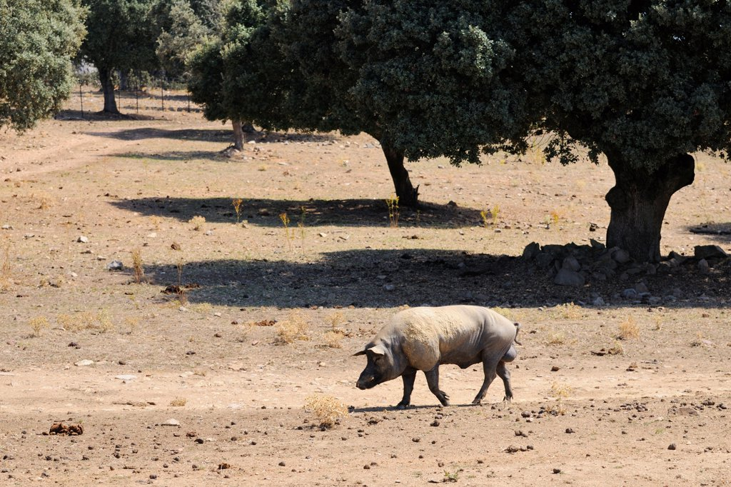 Stock Photo: 4421-20565 Domestic Pig, boar, walking in degraded dehesa habitat, since fighting bulls demand has lowered and breeders have moved to pig breeding that has devastating impact on environment, Salamanca, Castile and Leon, Spain, september