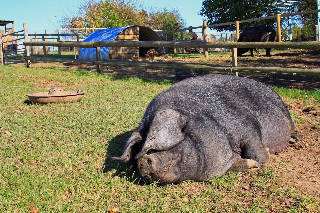Domestic Pig, Large Black sow, resting in paddock, Museum of East Anglian Life, Stowmarket, Suffolk, England, october : Stock Photo
