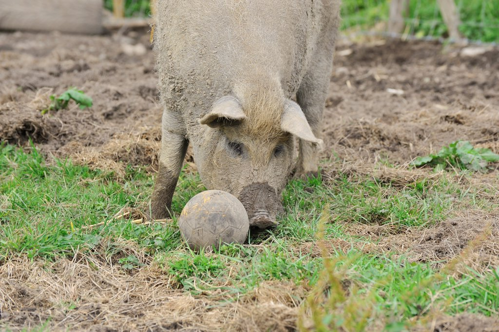 Domestic Pig, Mangalitza gilt, playing with football distractor in paddock, England, july : Stock Photo