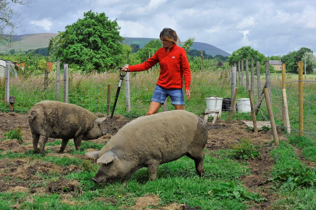 Stock Photo: 4421-20652 Domestic Pig, Mangalitza gilts, being moved in paddock by owner, England, july