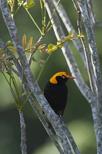Regent Bowerbird (Sericulus chrysocephalus) adult male, perched on branch, O'Reilly's, Lamington N.P., Queensland, Australia : Stock Photo