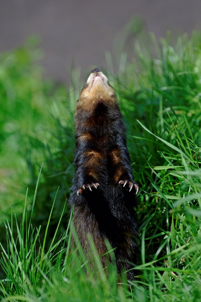Stock Photo: 4421-20684 Western Polecat (Mustela putorius) adult, standing on hind legs, looking up at bird overhead (captive)