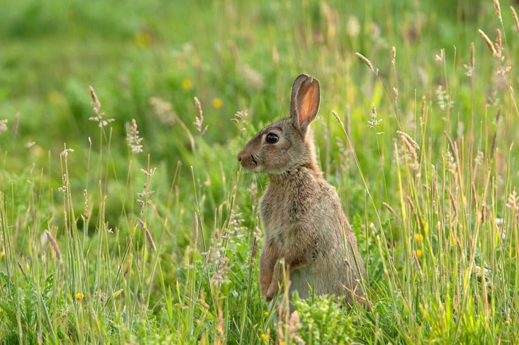 European Rabbit (Oryctolagus cuniculus) adult, alert, standing on hind legs amongst grass in orchard, Kent, England, summer : Stock Photo
