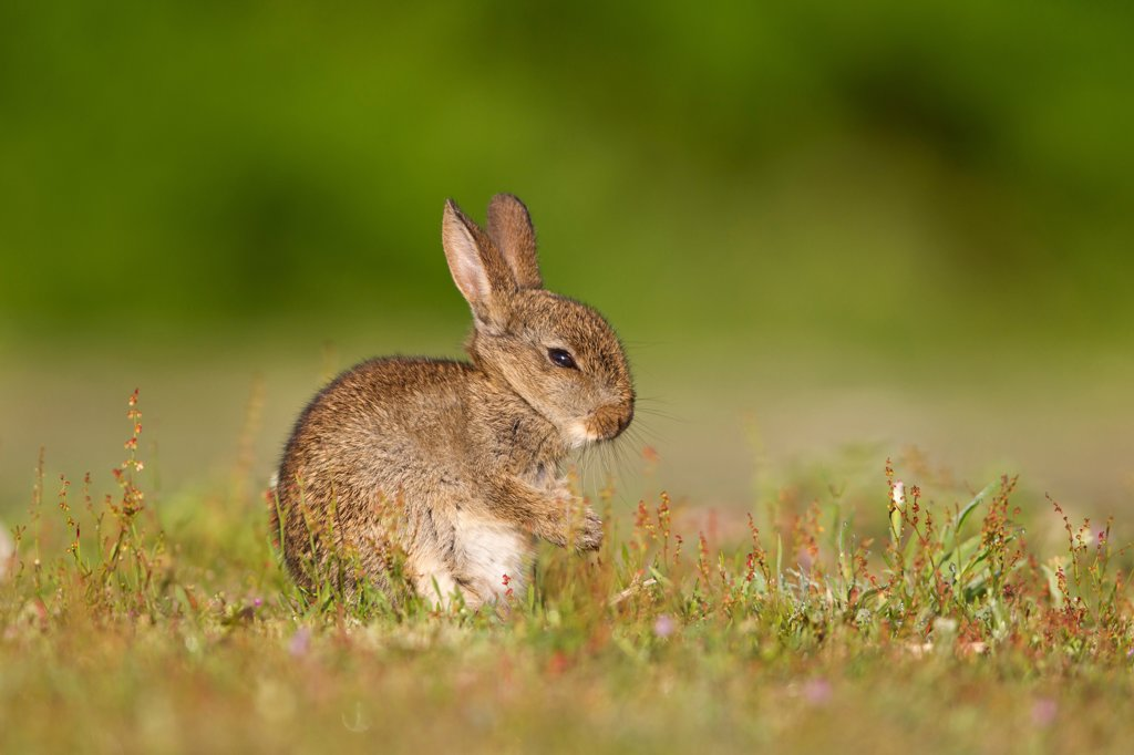 Stock Photo: 4421-20916 European Rabbit (Oryctolagus cuniculus) baby, with front paws together after grooming, sitting in grassland, Minsmere RSPB Reserve, Suffolk, England, july