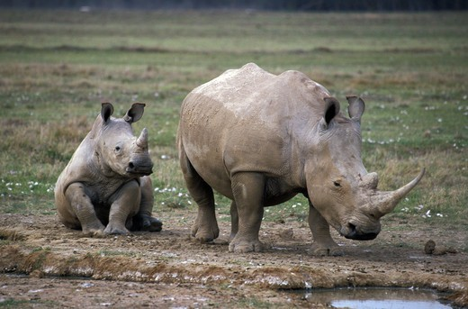 Stock Photo: 4421-20984 White Rhinoceros (Ceratotherium simum)   With calf - Lake Nakuru, Kenya