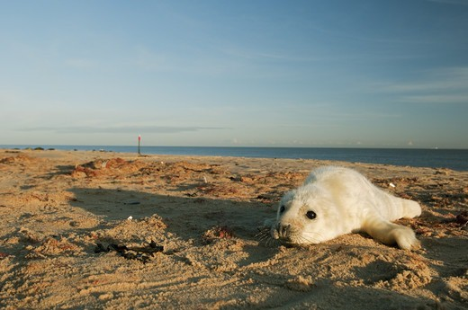 Grey Seal (Halichoerus grypus) whitecoat pup, surrounded by placenta, on sandy beach habitat, Norfolk, England, november : Stock Photo