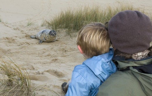 Stock Photo: 4421-21107 Grey Seal (Halichoerus grypus) pup, watched by young boy and mother on sandy beach, Norfolk, England, autumn