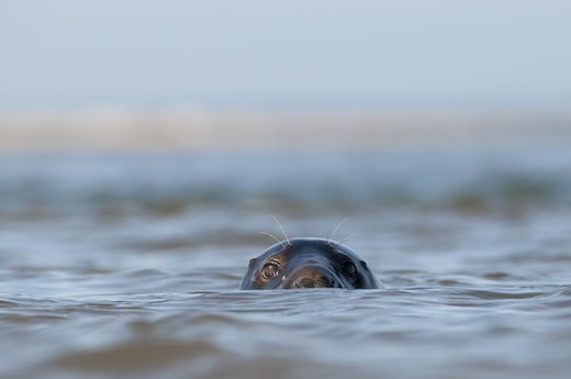 Stock Photo: 4421-21114 Grey Seal (Halichoerus grypus) adult, head looking out from surface of sea, Blakeney Point, Norfolk, England, october