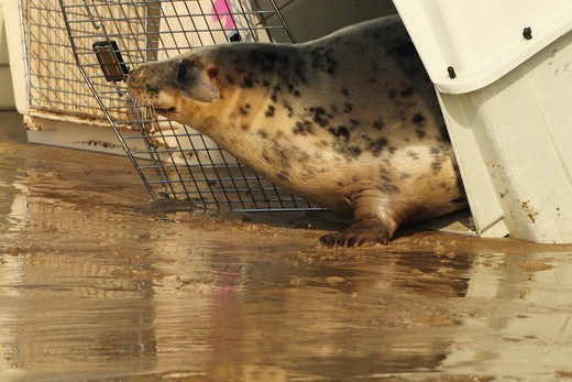 Stock Photo: 4421-21124 Grey Seal (Halichoerus grypus) rescued pup, being released from cage on beach, Woolocombe, North Devon, England, march