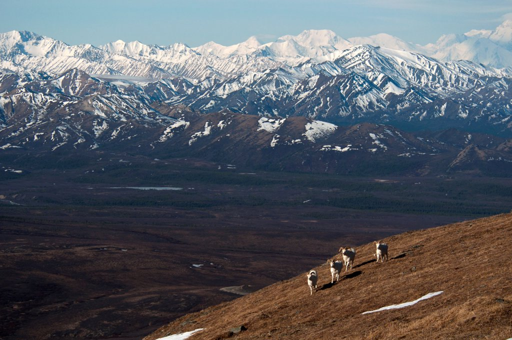 Dall Sheep (Ovis dalli) four adult males, walking on slope in mountain habitat, Denali N.P., Alaska, U.S.A., may : Stock Photo