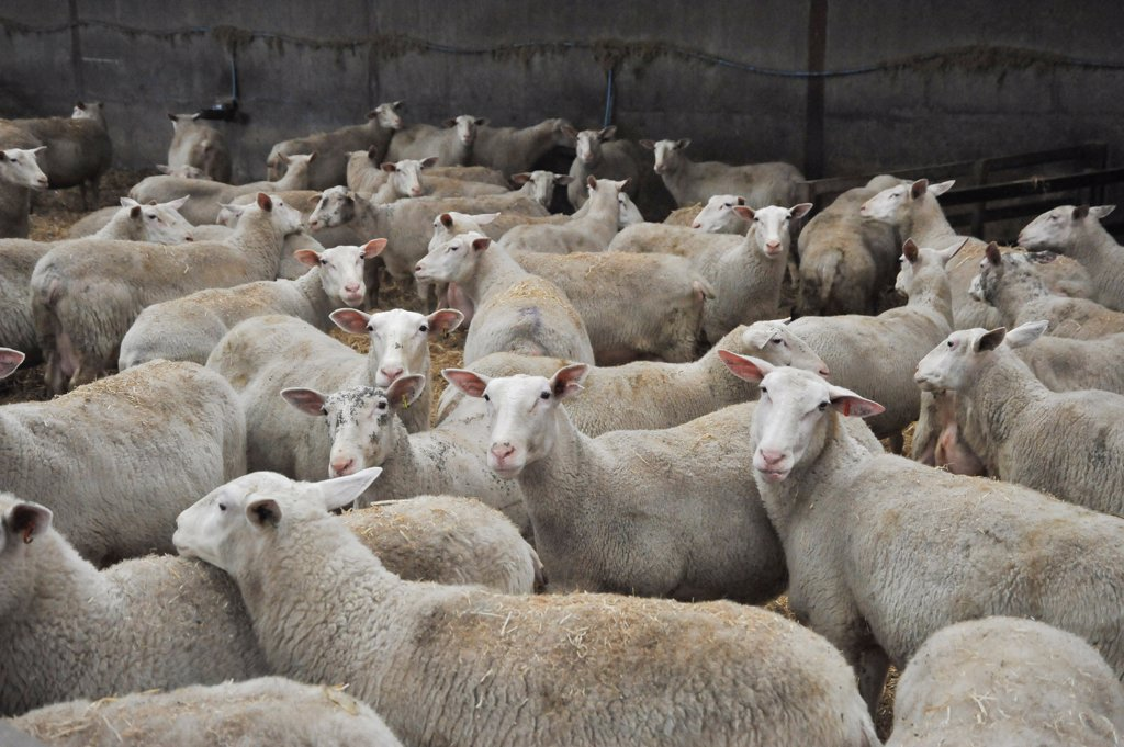 Domestic Sheep, Friesland ewes, dairy flock in shed, Chipping, Lancashire, England : Stock Photo
