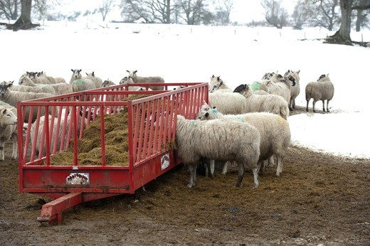 Domestic Sheep, flock, feeding on silage out of feed trailer, in snow covered pasture, Northumberland, England, winter : Stock Photo