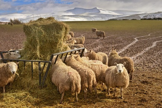 Stock Photo: 4421-21352 Domestic Sheep, flock, feeding on hay from feeder in muddy field, Penyfan in distance, Brecon Beacons, Wales, winter
