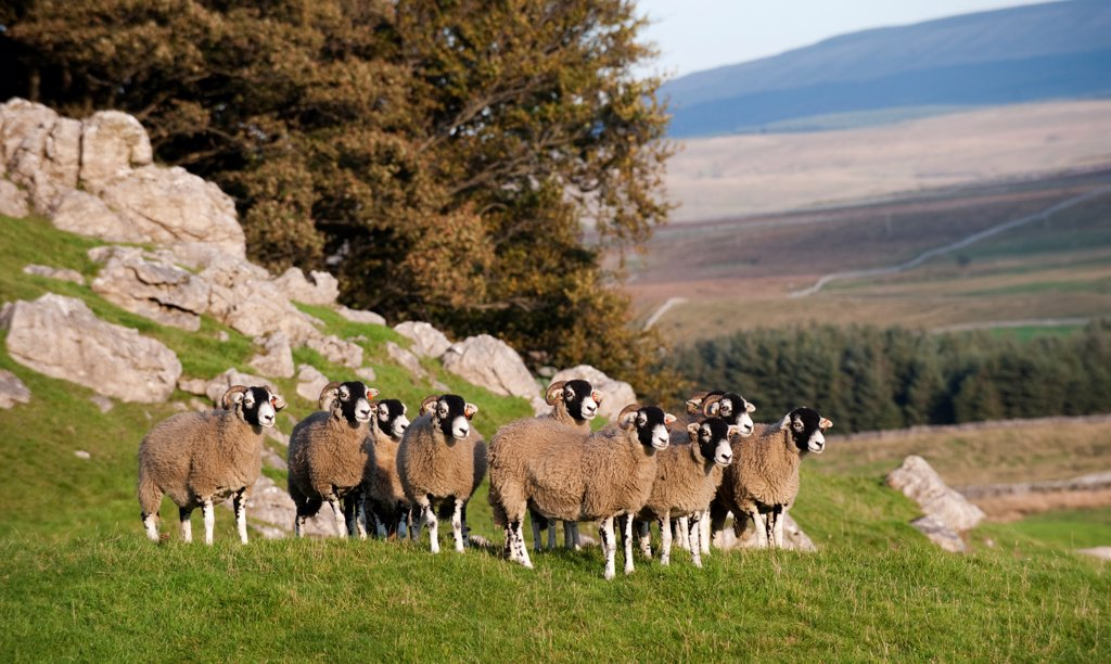 Domestic Sheep, Swaledale flock, standing on limestone pasture, North Yorkshire, England, october : Stock Photo