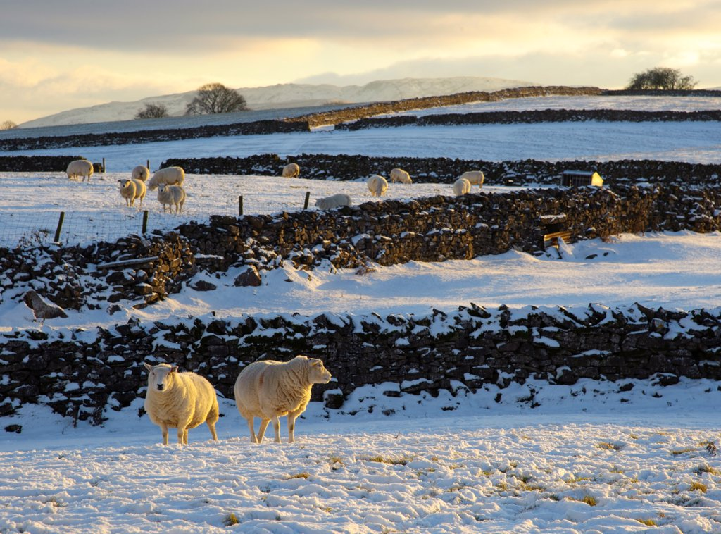 Stock Photo: 4421-21466 Domestic Sheep, flock, standing on snow covered pasture with drystone walls in late afternoon sunlight, Orton, Cumbria, England, november