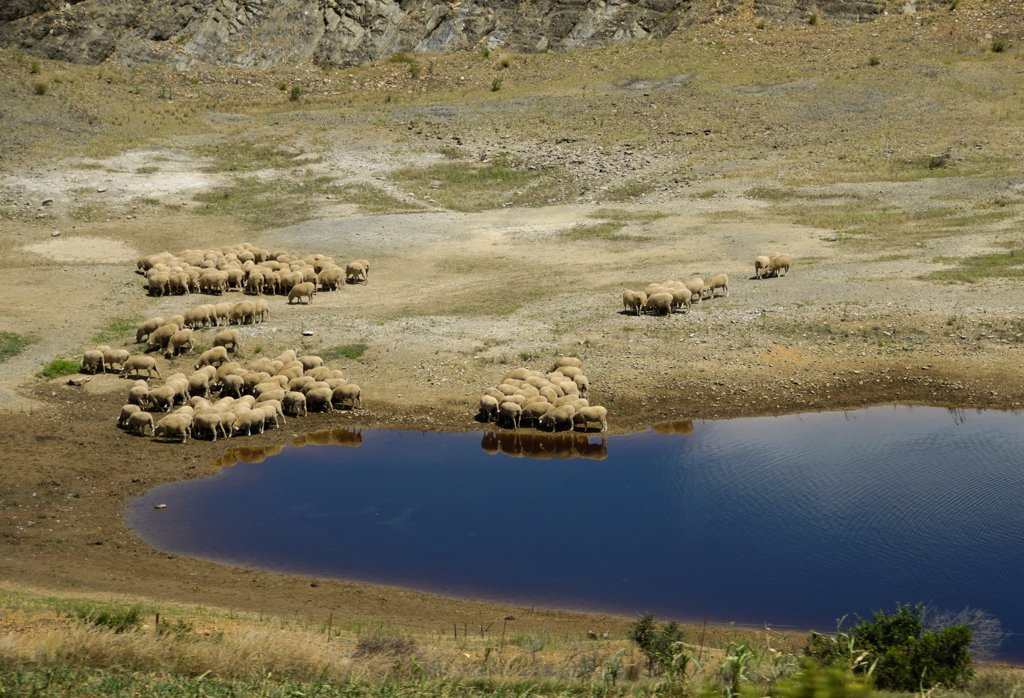 Stock Photo: 4421-21472 Domestic Sheep, flock, grazing at edge of drying waterhole, Swellendam, Western Cape, South Africa