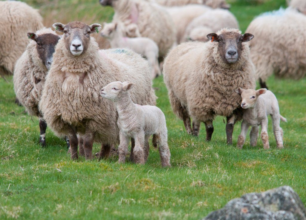Stock Photo: 4421-21484 Domestic Sheep, Charollais x Scottish Blackface ewes with Charollais sired lambs, standing in pasture, Scotland, april