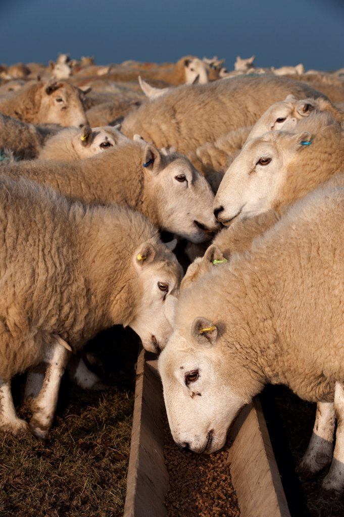 Domestic Sheep, Welsh ewes, flock feeding on supplement feed from trough, England, march : Stock Photo