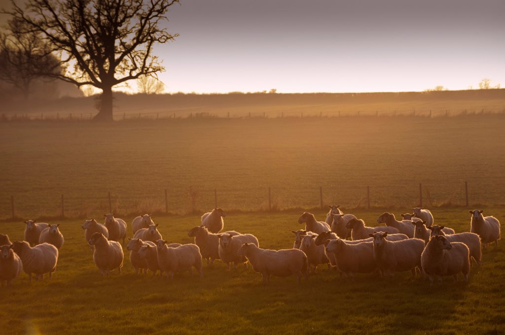 Stock Photo: 4421-21617 Domestic Sheep, flock, standing in pasture at sunset, England, november
