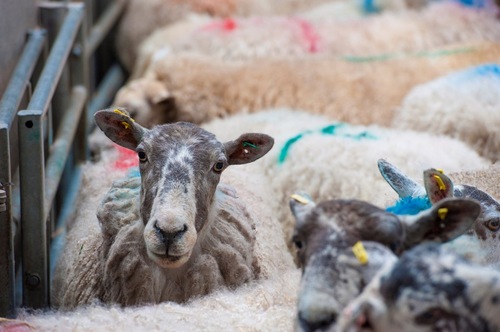 Stock Photo: 4421-21619 Domestic Sheep, cull ewes, flock in pen at livestock market, Brockholes Auction Mart, Preston, Lancashire, England, april