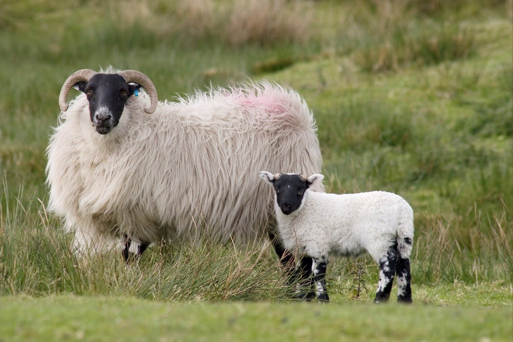 Domestic Sheep, Scottish Blackface, ewe with lamb, standing in rough pasture, Cairnsmore of Fleet, Dumfries and Galloway, Scotland, spring : Stock Photo