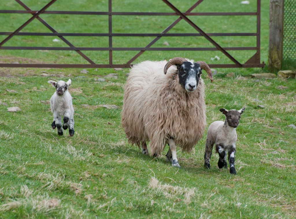 Stock Photo: 4421-21668 Domestic Sheep, Scottish Blackface ewe with Charollais sired lambs, walking in pasture beside gate, Scotland, april