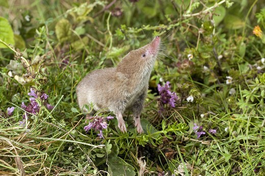 Stock Photo: 4421-21717 Common Shrew (Sorex araneus) adult, sniffing air, standing amongst wildflowers, England