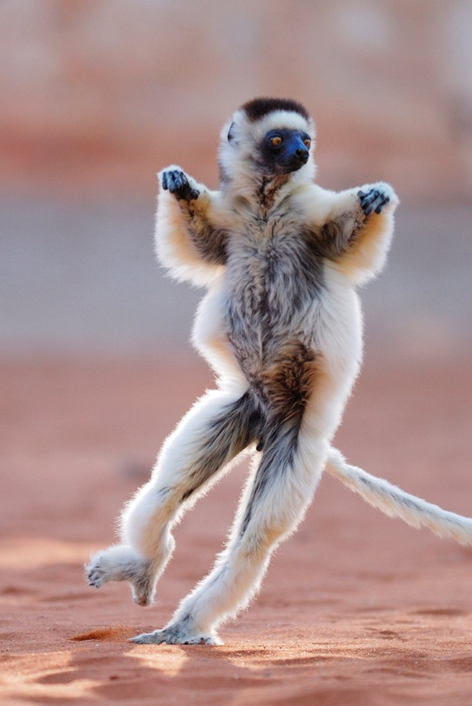Stock Photo: 4421-21741 Verreaux's Sifaka (Propithecus verreauxi) adult, running and leaping across ground, Berenty Nature Reserve, Southern Madagascar, august