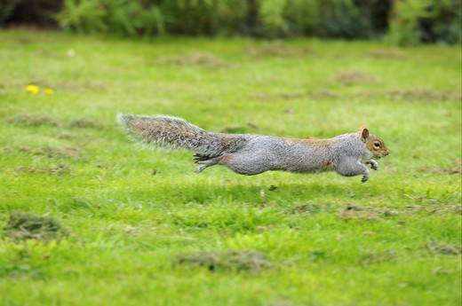 Eastern Grey Squirrel (Sciurus carolinensis) introduced species, adult, running across grass, Oxfordshire, England : Stock Photo