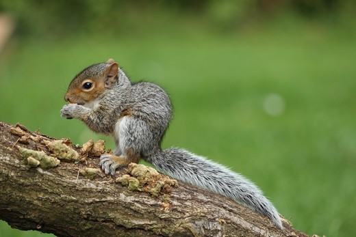 Eastern Grey Squirrel (Sciurus carolinensis) introduced species, young, feeding, sitting on branch, Norwich, Norfolk, England, september : Stock Photo