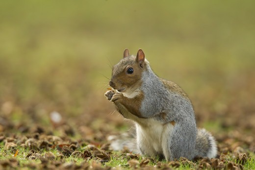 Eastern Grey Squirrel (Sciurus carolinensis) introduced species, adult, feeding on Common Beech (Fagus sylvatica) seeds, sitting on ground in city park, Sheffield, South Yorkshire, England, october : Stock Photo