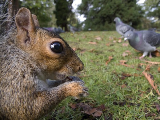Stock Photo: 4421-21818 Eastern Grey Squirrel (Sciurus carolinensis) introduced species, adult, close-up of head, feeding, with Feral Pigeon (Columba livia) flock on ground in city park, Sheffield, South Yorkshire, England, october