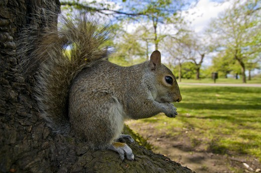 Stock Photo: 4421-21823 Eastern Grey Squirrel (Sciurus carolinensis) introduced species, adult, feeding, sitting on tree trunk in city parkland, Greenwich Park, Greenwich, London, England, april
