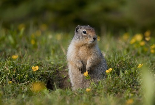 Columbian Ground Squirrel (Urocitellus columbianus) adult, alert, standing on hind legs amongst wildflowers near burrow, Rocky Mountains, Canada, july : Stock Photo
