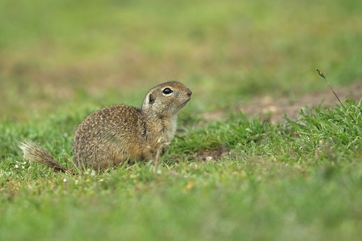 Stock Photo: 4421-21868 European Souslik (Spermophilus citellus) adult, sitting on grass beside burrow, Dobrogea, Romania, may