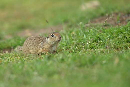 European Souslik (Spermophilus citellus) adult, standing on grass, Dobrogea, Romania, may : Stock Photo