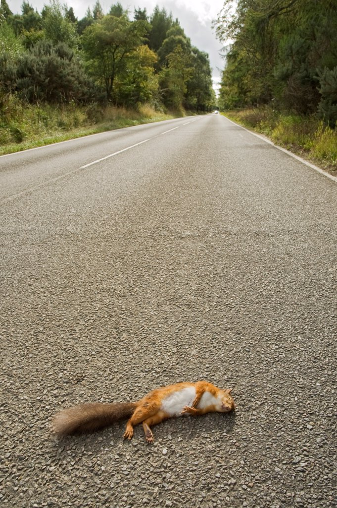 Stock Photo: 4421-21874 Eurasian Red Squirrel (Sciurus vulgaris) adult, killed on road, Black Isle, Ross and Cromarty, Scotland